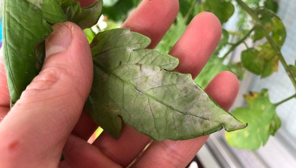 葉っぱの裏にもうどん粉病