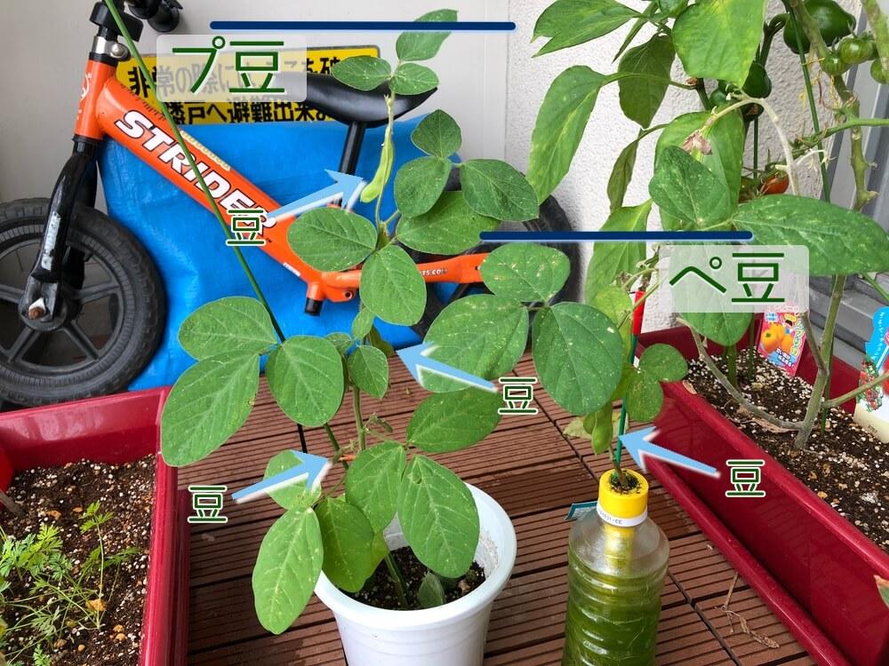 ペットマトとプランターの成長具合