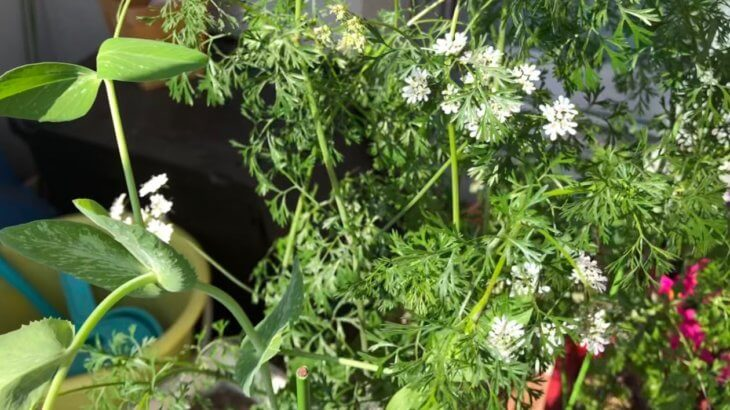 ベランダ菜園に花が咲きました!越冬したパクチーとチューリップにイチゴ