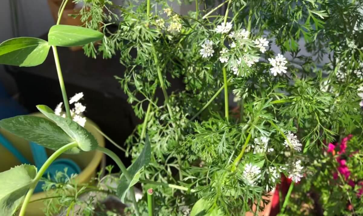 パクチーの白い花が咲いた。手前はスナップエンドウさん。
