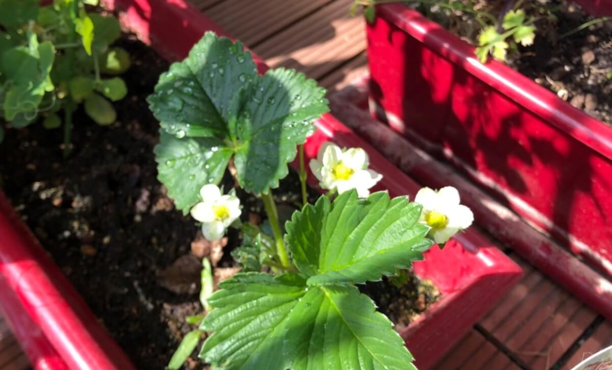 伸びたランナーから出来たイチゴの株にも花が咲きました