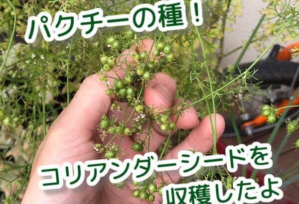コリアンダーシードの収穫!パクチーの種は最高のスパイスだよ!