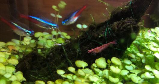 新しい水草のじゅうたんの上にレッドビーシュリンプ